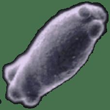 Bretaanomyces, wilde Biere